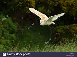 Flying Barn Owl (tylo Alba Stock Photo, Royalty Free Image ... Barn Owl Tyto Alba 4 Months Old Flying Stock Photo Image Beauty Of Bird Our Barn Owl The Tea Rooms Chat Rspb Community A Flying At Folly Farm In Pembrokeshire West Wales Winter Spirit By Hontor On Deviantart Audubon Field Guide Vector 380339767 Shutterstock Wallpaper 12x800 Hunting A Royalty Free Tattoos Tattoo Ideas Proyectos Que Debo Ientar
