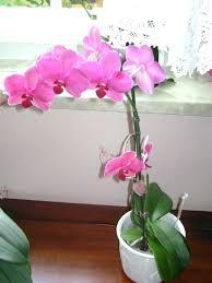 comment conserver des orchidées en pot en intérieur dans la maison