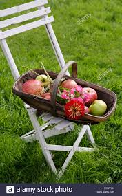 Close-up Of Apples In Wooden Trug On White Folding Garden ... Set Of Four Stacking Garden Chairs And Matching White Folding Table In Cambridge Cambridgeshire Gumtree Modern Wooden Folding Director Or Garden Chair On A Background 7 Position Adjustable Back Outdoor Fniture Foldable Rattan Chairs With Foot Rest Buy White Canvas Rows Lawn Botanic Stock Close Up Slatted Wooden Chair Intertional Caravan Royal Fiji Acacia High Bluewhite Camping Wedding Rental Sky Party Rentals Vidaxl 2x Hdpe Balcony Seat 225