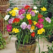 freesias flower bulbs flower bulbs buy from ankur