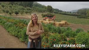 Rileys Pumpkin Patch Oak Glen by Riley U0027s Farm Harvest U Pick News 9 23 2017 Youtube