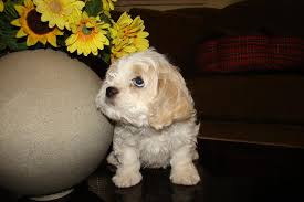 non shedding hypoallergenic hybrid dogs cavachon puppies hybrids non shedding cavachon puppies non