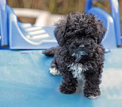 Tiny Non Shedding Dog Breeds by Havapoo