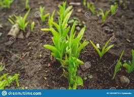 100 Seedling Truck Growing Green Plans In Soil Stock Photo Image Of Farm