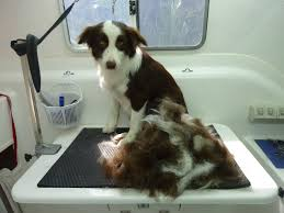 Do All Dogs Shed by Clear Mobile Dog Grooming Brisbane De Shedding Undercoat Clip