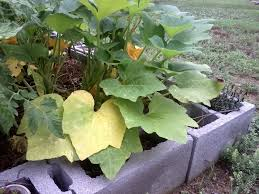 Fertilizer For Pumpkins Uk by Reasons And Fixes For Yellow Squash Leaves