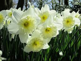 10 best bulbs and blooms images on bulbs