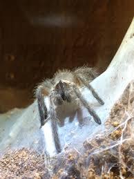 Do Tarantulas Shed Their Legs by Monocentropus Balfouri U2026an Experiment In Communal Tarantulas Dave