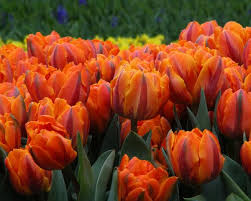 tulip orange princess bulbs buy at farmer gracy uk