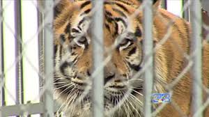 Animals Rights Group Fighting To Keep Tiger Truck Stop From ...