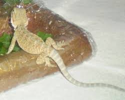 Bearded Dragon Shedding Help by His Tail Is Almost White U2022 Bearded Dragon Org
