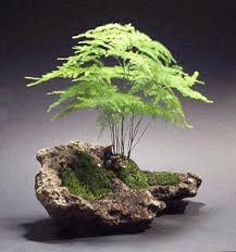 asparagus fern in rock indoors here or use maidenhair fern