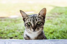 cisapride for cats dietary management of megacolon in cats constipation in cats petmd