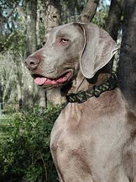 Do Long Haired Weimaraners Shed by Weimaraner Wikipedia
