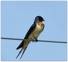 Barn Swallow – Amy's Birds Flying Barn Swallow Stock Photo Image Of Swift Martin 13408420 Perching Birds Lake Apopka Wildlife Audubon Guide To North American Ebirdr Watercolor Blue Bird On Stock Illustration 302720159 Warsciowestronytop Words On Another Blog First Chicks Swallows Including And Tree