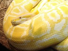 Albino Burmese Python Molurus Bivittatus