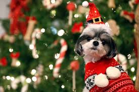 Are Christmas Trees Poisonous To Dogs Uk by The Festive Foods You Can And Can U0027t Feed Your Dogs And Cats Get