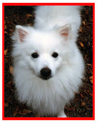 heart bandits the american eskimo dog