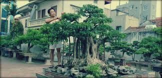 pot bonsai grande taille ficus bonsai tailler entretenir et rempoter bonsaï