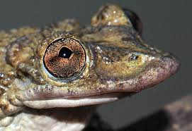 Do Aquatic Dwarf Frogs Shed Their Skin by Spiky Skulled Frogs Head Enemies To Deliver Deadly Toxins D