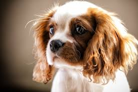 Top 10 Dogs That Dont Shed by Top 7 Dog Breeds For People Fighting Depression