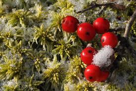Winterberry Christmas Tree Farm by Winterberry Nick U0027s Nature Pics