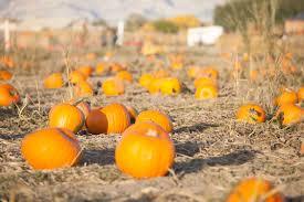 Colorado Pumpkin Patch by Pumpkin Patch Studts Pumpkin Patch And Corn Maze