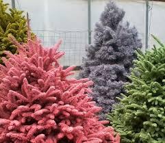 Flocked Christmas Tree Walmart by Freshly Cut Freshly Flocked Christmas Trees Are Colorfully