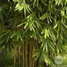 entretien des bambous en pot bambou d intérieur h 60cm pot autres marques jardinerie truffaut