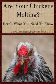 Are Your Chickens Molting? Here's What You Need To Know - Farming ... 721 Best Chickens Ducks Images On Pinterest Keeping Your Healthy Backyard The Chicken Chick Salpingitis Lash Eggs In Backyard Vignette Design Design Bucket List 4 10 Things Ive Learned In My First Year Of Having Benefits Urban Farming Raising 3 Steps With Pictures Hipster Easter Here Are Some Organic Soyfree Naturally Flystrike Causes Back Juan Manuel Malnado Predators Myth Supervised
