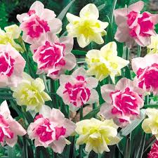 heirloom daffodil bulbs heirloom daffodil bulbs for sale large