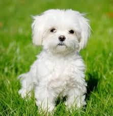 hypoallergenic dog breeds archives a z vets