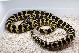 Coastal Carpet Python Facts by Jungle Carpet Python Facts And Pictures Reptile Fact