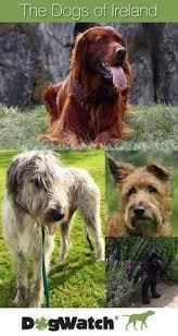 irish terrier photography pinterest irish terrier terrier