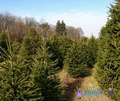 Fresh Cut Christmas Trees At Menards by Christmas Trees Where To Cut Your Own Or Buy A Pre Cut Christmas Tree