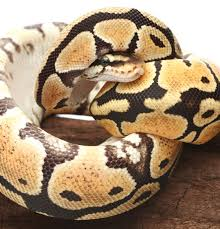 Ball Python Shedding Eating by Snake Winter Anorexia