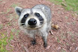 Help! There's A Raccoon In My Yard!