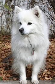 toy american eskimo dog information facts pictures training and