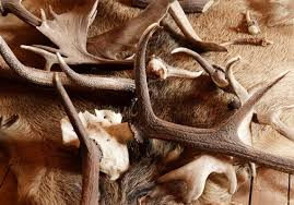 Deer Antler Shed Hunting by It U0027s Shed Hunting Time Pittsburgh Post Gazette