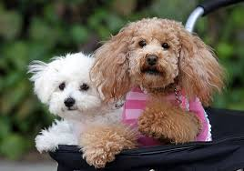 No Shedding Dog Breed by Top 10 Family Friendly Dog Breeds Good Housekeeping