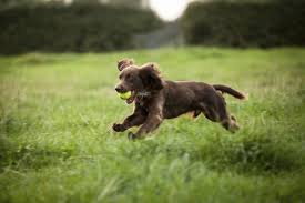 Springer Spaniel Shed Hunting by Types Of Hunting Dogs
