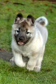 Best Dog Breeds That Dont Shed by Norwegian Elkhound