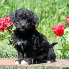 Small Non Shedding Dogs For Adoption by Puppies For Sale In Pa