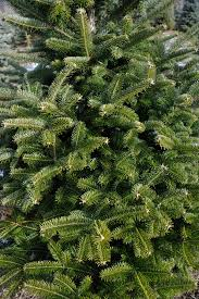 Popular Christmas Tree Species by The Trees Maple Hollow Christmas Tree Farm