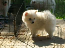 99 best miniature american eskimo dogs images on pinterest baby