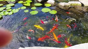 Amazing Koi Pond Crystal Clear Water Feeding Goldfish Catfish ... Backyard Aquaculture Raise Fish For Profit Worldwide 40 Amazing Pond Design Ideas Koi And Turtle Water Garden Wikipedia Small Backyard Pond Care Small Ponds To Freshen Your Goldfish Catfish Waterfall Youtube Stephens Aquatic Services Inc Starting A Catfish Farm With Adequate Land Agric Farming How To Start From Tractor Or Car Tires 9 Steps Pictures In July Every Year We Have An Event Called Secret Gardens Last The Latest Home