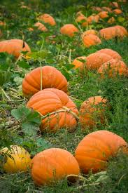 Kent Ohio Pumpkin Patches by 2030 Best Grrrrreat Pumpkins Images On Pinterest Fall Autumn