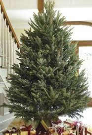 Fraser Fir Christmas Trees Nc by Frasier Fir Tree Trees Guide To Winter Decor Pinterest Fir