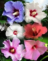 10 dinnerplate hibiscus perennial flower seed mix