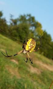 Black-and-Yellow Garden Spider | MDC Discover Nature R2rustys Chatter September 2017 Ladybugs Backyard And Beyond Birdingand Nature Golden Silk Orb Weaver Spider In Bug Eric Sunday Black Yellow Argiope Glass Beetle By Falk Bauer A Backyard Naturalistinsects Ghost Spiders Family Anyphnidae Spidersrule C2c_wiki_silvgarnspider_hrw8q0m1465244105jpg Aurantia Wikipedia Two Views Sonoran Images Elephant Tiger Skin Spiny Blackandyellow Garden Mdc Discover Power Animal For October Shaman Amy Katz